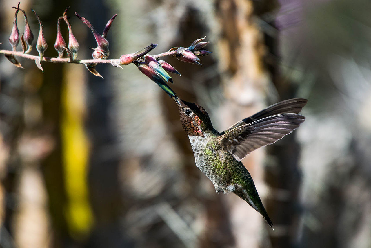 Feeding hummingbird - Photo by Kpts44