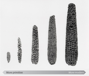 Evolution of corn - Photo © Robert S. Peabody Museum of Archaeology, Phillips Academy, Andover, Massachusetts: