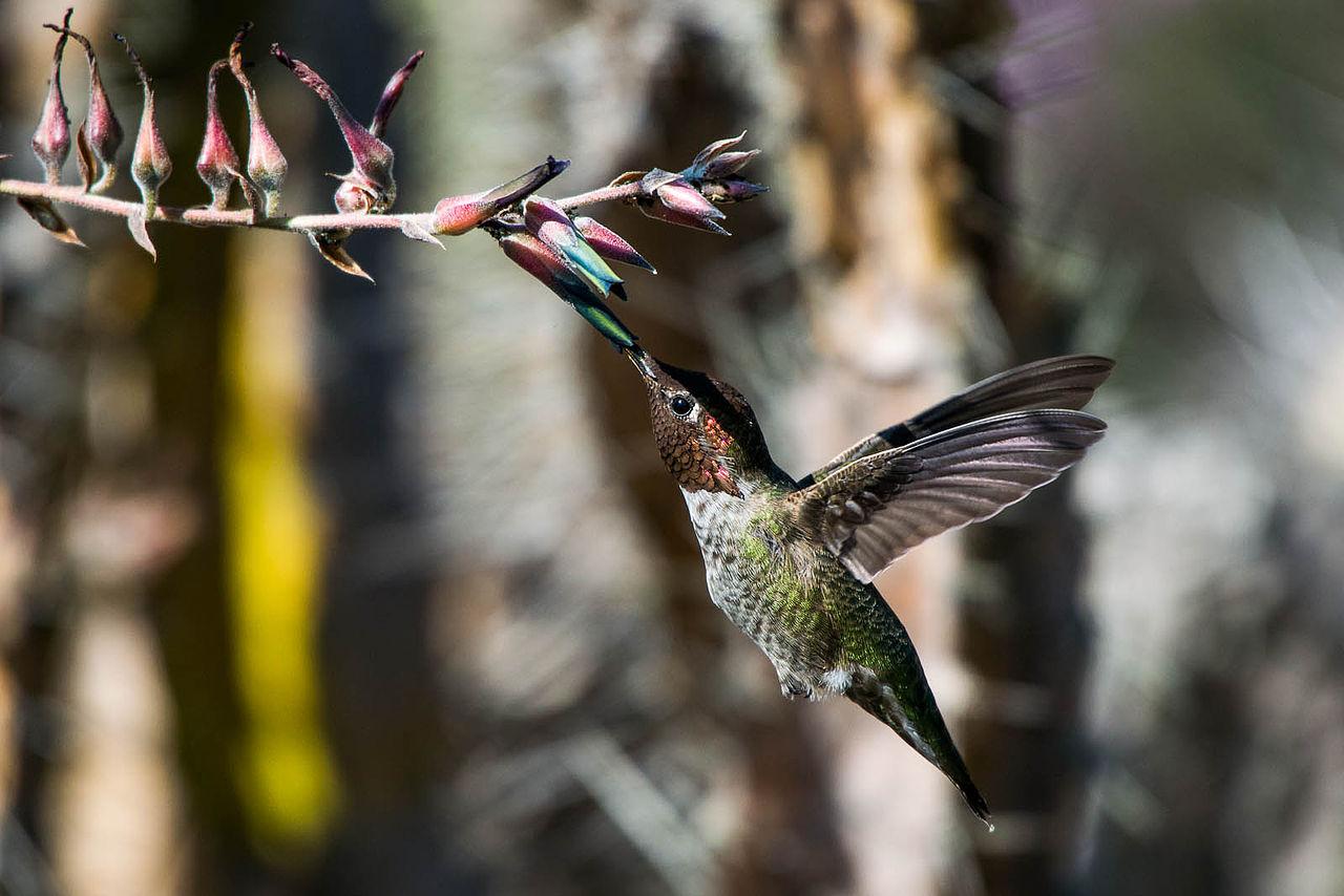 Feeding hummingbird - Photo by Kpts44